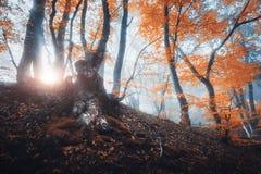 与太阳的不可思议的老树早晨发出光线 雾的森林 库存图片