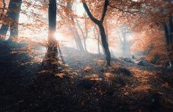 与太阳的不可思议的老树早晨发出光线 雾的森林 免版税库存照片