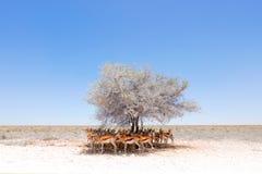 与太阳的干燥热的天在Etosha NP,纳米比亚 在树下掩藏的羚羊跳羚牧群,在阴影 动物行为 库存照片