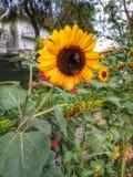 与太阳花的蜂蜜蜂 免版税库存照片