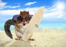 与太阳镜和冲浪板的滑稽的动物灰鼠在海滩 免版税库存图片