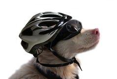 与太阳镜和自行车盔甲的白变种狗 免版税库存图片