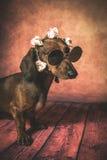 与太阳镜和花的达克斯猎犬狗在她的头 免版税库存照片