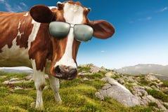 与太阳镜的好奇母牛 免版税库存照片