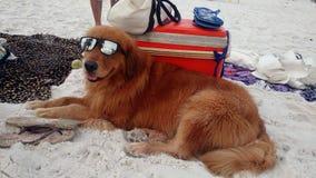 与太阳镜的海滩狗 图库摄影