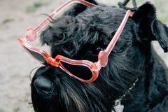 与太阳镜的滑稽的狗 库存照片