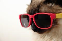 与太阳镜的滑稽的猫 免版税库存图片
