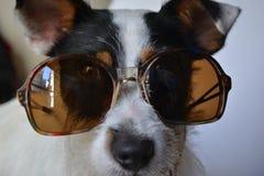 与太阳镜的狗 图库摄影