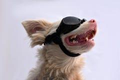 与太阳镜的白变种狗 库存图片