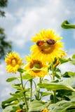 与太阳镜的滑稽的向日葵 免版税库存图片