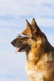 与太阳玻璃的德国护羊狗 免版税库存图片