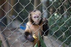 与失去的眼睛的哀伤的猴子用一个香蕉在它的手上 免版税库存照片