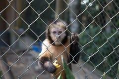 与失去的眼睛的哀伤的猴子用一个香蕉在它的手上 库存照片