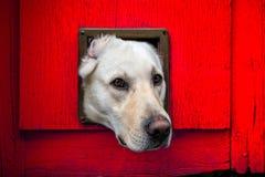 与头的狗通过反对红色木门的猫挡水板 免版税库存照片