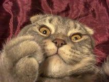与奇怪的情感面孔的猫 库存图片