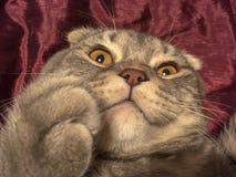 与奇怪的情感面孔的猫 免版税库存照片