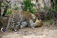 与她公正的男性伴侣的殷勤母豹子 免版税库存照片