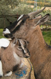 与她的儿子的妈妈山羊 免版税库存图片