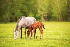 与她的吃草在春天绿色牧场地的驹的母亲马反对绿色森林背景落日的 图库摄影