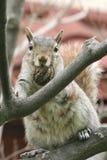 与她的坚果的灰鼠 库存照片
