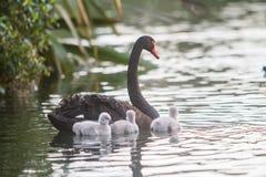 与她的婴孩的母亲天鹅 免版税库存照片