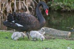 与她的婴孩的母亲天鹅 免版税库存图片