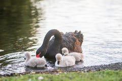 与她的婴孩的母亲天鹅 免版税图库摄影