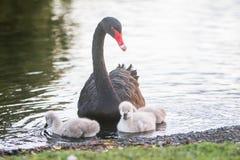 与她的婴孩的母亲天鹅 库存照片