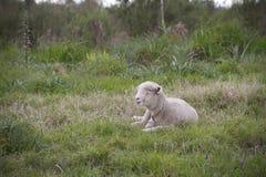 与她的婴孩的绵羊 库存图片