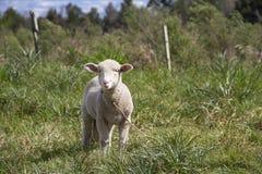 与她的婴孩的绵羊 库存照片