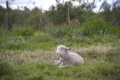 与她的婴孩的绵羊 免版税库存图片