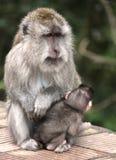与她的孩子的一只母亲短尾猿 免版税库存照片