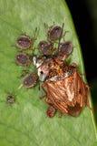 与她的孩子(幼虫)的女性臭虫吃蜂蛹 免版税库存图片
