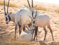 与她的家庭的婴孩阿拉伯羚羊属 迪拜,阿拉伯联合酋长国 免版税库存照片