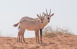 与她的家庭的婴孩阿拉伯羚羊属 迪拜,阿拉伯联合酋长国 库存图片