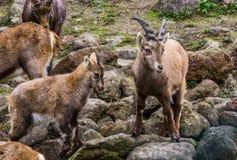 与她的小孩和其他家人,从欧洲山的野山羊的母亲高山高地山羊  免版税库存图片