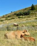 与她的小牛的一头山母牛 免版税库存照片