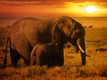 与她的小牛的森林大象在日落 免版税库存图片