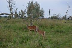 与她的小牛的鹿 免版税库存照片