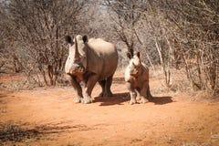 与她的小犀牛的母亲白色犀牛 图库摄影