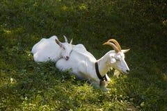 与她的小狗的一只母山羊 免版税库存照片