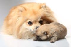 与她的小狗的妈妈波美丝毛狗 免版税库存图片