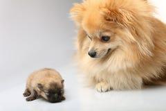 与她的小狗的妈妈波美丝毛狗 库存照片