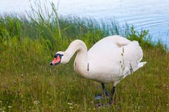 与她的小鸡的母亲天鹅 白色天鹅保护它的子孙 库存照片