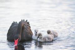 与她的小鸡的母亲天鹅 库存图片