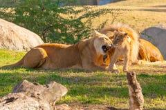 与她的崽的雌狮戏剧 库存图片