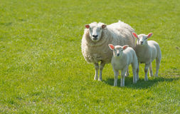 与她的摆在草甸的羊羔的母羊 图库摄影