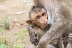 与她的母亲的一只婴孩亚洲猴子 库存图片