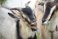 与她的母亲的发笑小的山羊 库存照片