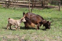 与她的母亲的小的山羊 库存图片